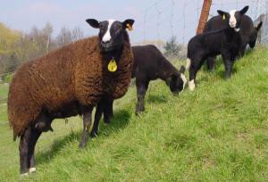 Красива порода овець Цвартблес, фото, опис, розведення в Росії та Україні.