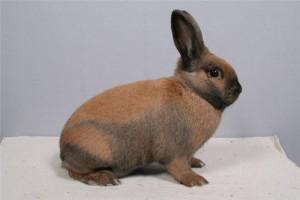 Гарний кролик породи тюрингенський, фото, опис, характеристика.