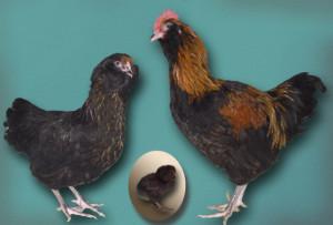 Порода кур для домашнего разведения, фото, описание, характеристика.
