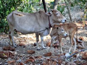 Индийская мини корова Вечур, описание, фото, характеристика.