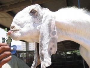 Красивая порода коз Шами, фото, описание, характеристика для домашнего разведения и содержания.