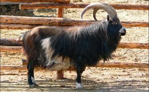 Фото, описание, коза Голландской породы Ландрас, характеристика для домашнего разведения и содержания.