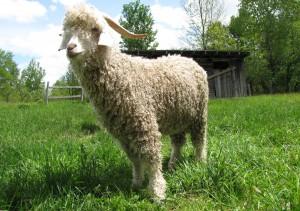 Фото, описание коз Ангорской породы, характеристика для домашнего разведения и содержания.