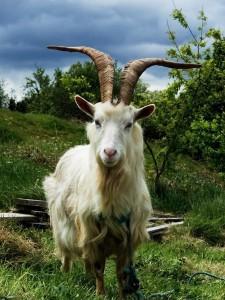 Фото, описание, русской белой породы коз, характеристика для домашнего разведения и содержания.