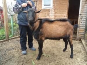 Фото, описание чешской бурой породы коз, характеристика для домашнего разведения.