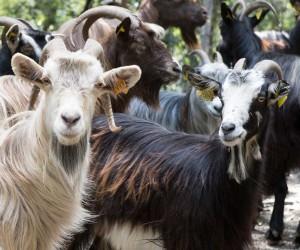 Фото, описание Корсиканской породы коз для домашнего разведения и содержания, характеристика.