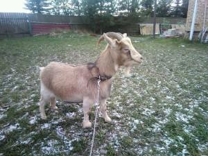 Фото, описание карликовой камерунской породы коз, характеристика для домашнего разведения и содержания.