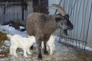 Фото, описание Придонской породы коз, характеристика для домашнего разведения и содержания.