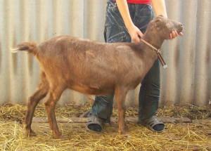 Фото, описание породы коз с маленькими ушами Ламанча, характеристика, удои, разведение и содержание в домашних условиях.