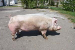 Фото, описание Литовской белой породы свиней, характеристика для домашнего разведения и содержания.