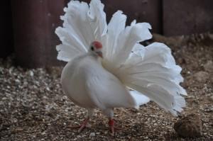 Фото, описание павлиньего белого голубя, характеристика для разведения дома.
