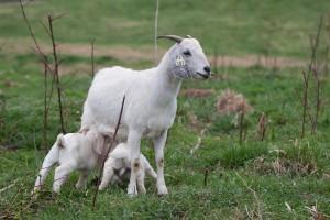 Порода мясной козы - Саванна, фото, описание, характеристика для домашнего разведения и содержания.