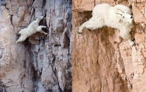 Горная коза, фото, описание.