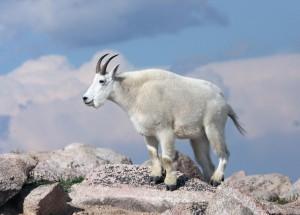 Фото, описание породы снежных, горных коз, характеристика, интересные факты.