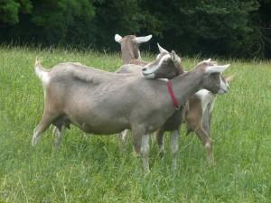 Фото, описание Тоггенбургской породы коз, характеристика для домашнего разведения и содержания.