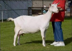 Фото, описание зааненской породы коз для домашнего разведения и содержания, характеристика.