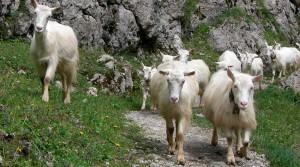 Фото, описание аппенцелльской породы коз, характеристика, удои для домашнего разведения.