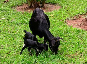 Фото, описание Бенгальской черной породы коз, характеристика, удои, разведение дома.