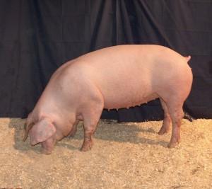 Фото, описание породы свиней Лакомб, характеристика для домашнего разведения и содержания.