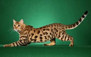Фото, описание кошки породы Чито, характеристика для домашнего разведения и содержания.