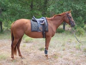 Фото, описание породы лошадей Гунтер, характеристика для домашнего разведения.