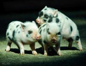 Фото, описание породы свинок мини-пиг - Юлианская свинья, характеристика.