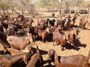 Фото, описание породы Калахарских красных коз, характеристика для домашнего разведения.
