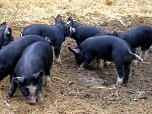 Фото, описание камеровской породы свиней, характеристика для домашнего разведения.