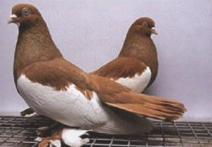 Фото, описание - голуби, камышинской породы, характеристика для домашнего разведения.