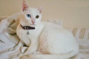 Фото, описание породы кошек Као Мани, характеристика для домашнего разведения и содержания.