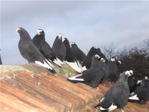"""Фото, описание голубей породы """"Курские Турманы"""", характеристика для домашнего разведения."""