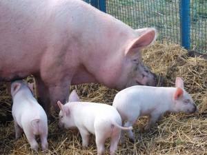 Фото, описание Ливенской породы свиней, характеристика для домашнего разведения.