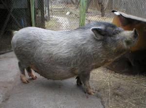 Фото, описание муромской породы свиней, характеристика для домашнего разведения и содержания.