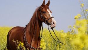 Фото, описание Новокиргизской породы лошадей, характеристика для домашнего разведения.