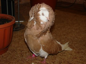 Фото, описание породы голубей - якобины, характеристика для домашнего разведения и содержания.