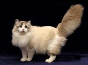 Фото, описание кошек породы Рагамаффин, характеристика для домашнего разведения и содержания.