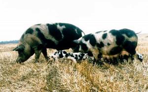 Фото, описание Северокавказской породы свиней, характеристика для домашнего разведения.
