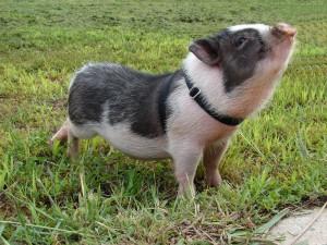 Фото, описание миниатюрной сибирской породы свиней, характеристика для домашнего разведения.
