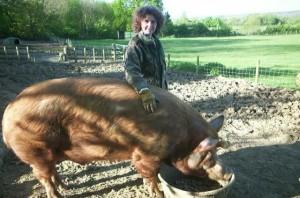 Фото, описание породы свиньей Темворс, характеристика для домашнего разведения и содержания.
