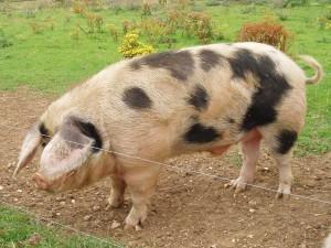 Фото, описание украинской степной рябой породы свиней, характеристика для домашнего разведения.
