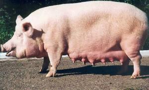 Фото, описание уржумской породы свиней, характеристика для домашнего разведения.