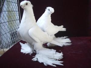 Фото, описание голубей породы Узбекские двухчубые бойные, характеристика для домашнего разведения.