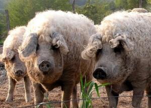 Фото, описание породы свиней венгерской пуховой мангалицы, характеристика для домашнего разведения и содержания.
