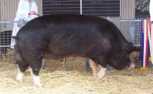 Фото, описание свиней породы Беркширская, характеристика для разведения и содержания.