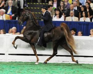 Фото, описание лошади американской верховой породы, характеристика для разведения.