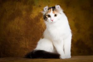 Фото, описание кошки породы Американский Керл, характеристика для домашнего разведения и содержания.