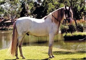 Фото, описание испанской лошади Андалузской породы, характеристика, разведение.