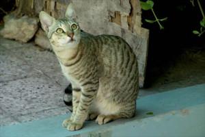 Фото, описание кошки породы Аравийский Мау, характеристика для домашнего разведения и содержания.