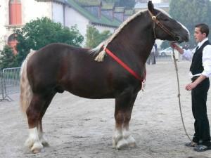 Фото, описание лошадей породы Бретонская, характеристика для домашнего разведения.
