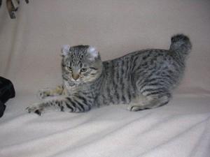 Фото, описание кошки породы Хайлендер, характеристика, уход.